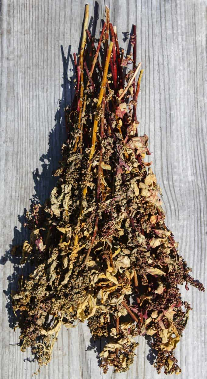 Photo of harvested quinoa plant - how to make quinoa.